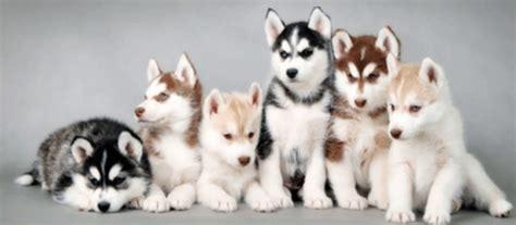 alaskan malamute colors beautiful siberian husky puppy breeders in various colors png