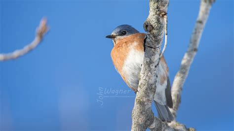 bluebirds in southern wi in january fm forums