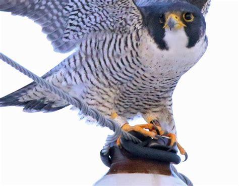 peregrine falcon news from iowa nebraskaland magazine