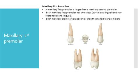 Maxillary Premolar Tooth Morphology By Dr Rao Ppt