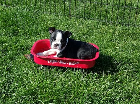 wind hill puppies wind hill puppies akc boston terriers in illinois