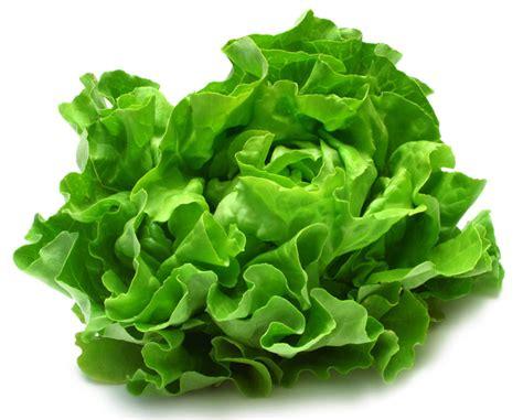Bibit Selada Hijau sayuran yang perlu dikonsumsi tiap hari pekanbaru