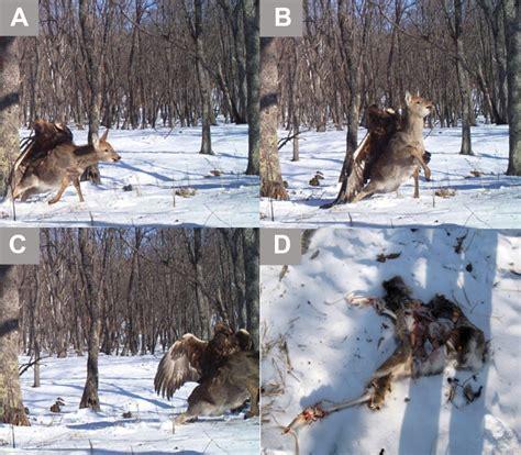 deer attacks golden eagle attacks a sika deer business insider