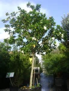 Gardenia For Sale Buy Gardenia Trees For Sale In Orlando Kissimmee