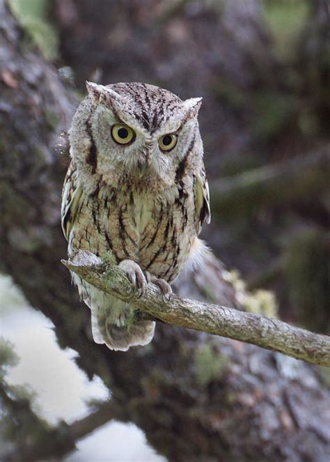 the owl s perch owl of the week eastern screech owl