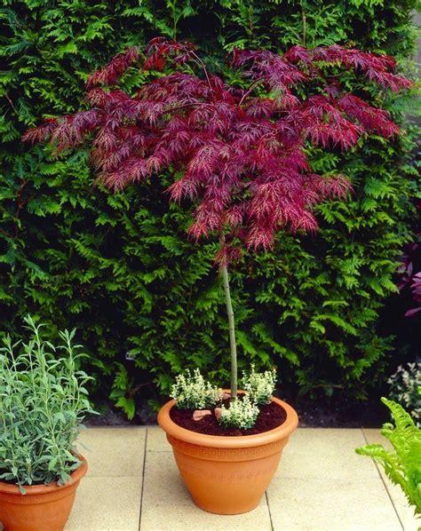 large 100cm standard acer japanese maple tree garnet