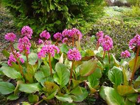 Flower Garden Plants Bergenia Cordifolia Plant Id Hcp