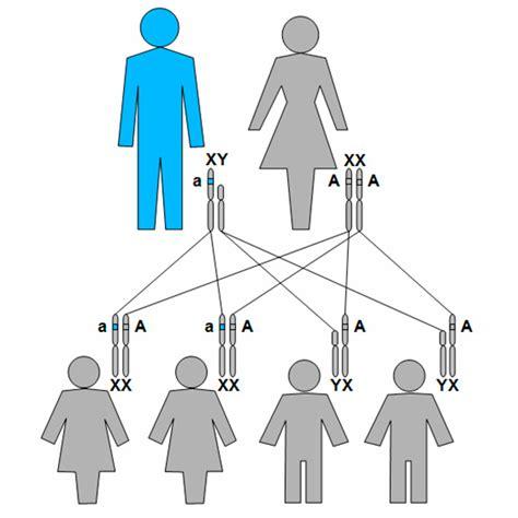 la herencia viva de 191 qu 233 es la herencia recesiva ligada al cromosoma x rare commons