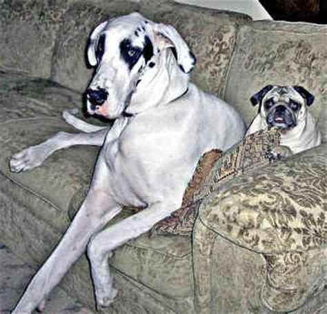 pug x great dane 320 best ideas about dogge great dane on harlequin great danes brindle