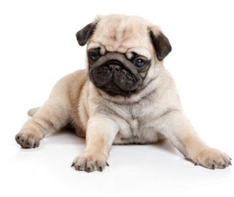 perros para vivir en un piso las mejores razas de perros para vivir en pisos