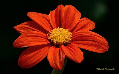pretty orange pretty orange flower photograph by william lallemand