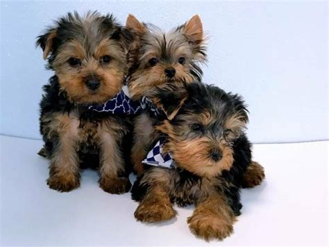 yorkie puppies for sale in ny terrier puppies for sale new york ny 229984