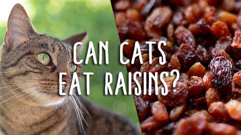 my ate raisins can cats raisins pet consider