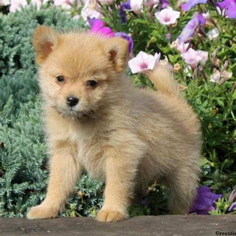 pomeranian mix for sale pomeranian mix puppies for sale greenfield puppies