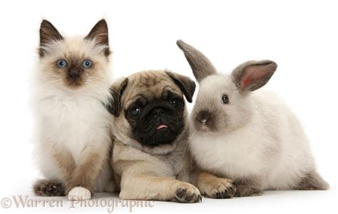pugs and kittens pets pug pup with colourpoint rabbit and kitten photo wp26915