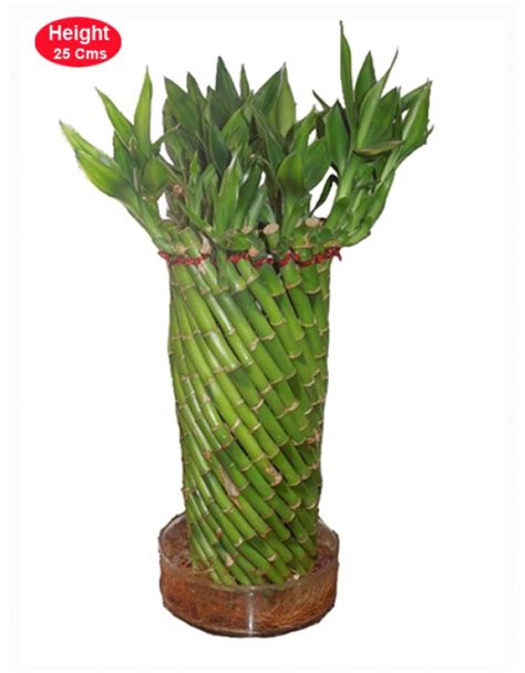 feng shui bamboo plant in bedroom feng shui bamboo plant feng shui for home wealth