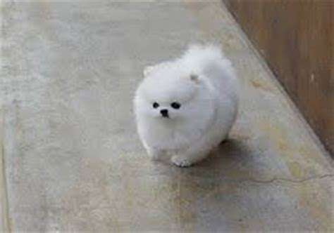 teacup pomeranian for sale in ky dogs kentucky free classified ads