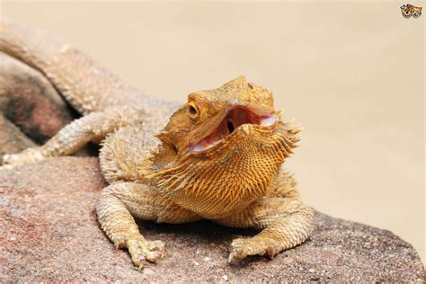 how often do bearded dragons go to the bathroom bearded dragon health and diseases pets4homes