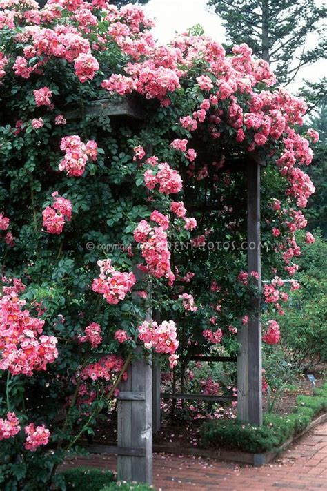 Best Trellis For Climbing Roses pin by vintage frenchy on gardening outdoor decor