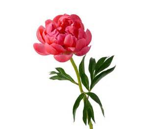 Peony 6 pretty flowers and their symbolic meanings real simple