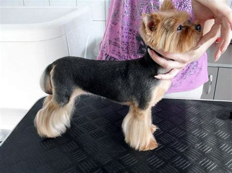 male yorkie haircuts 17 best ideas about yorkie haircuts on pinterest