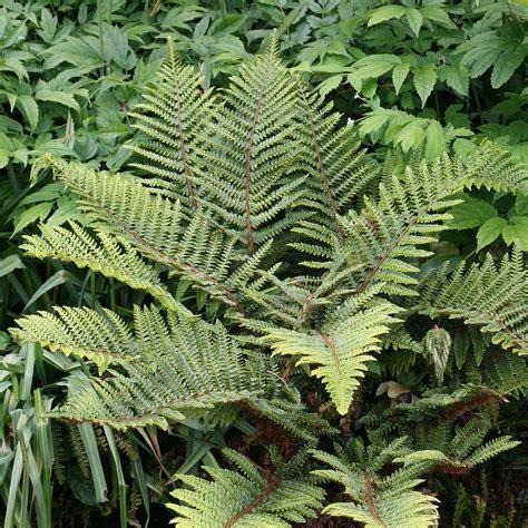 buy japanese tassel fern polystichum polyblepharum delivery by waitrose garden in association