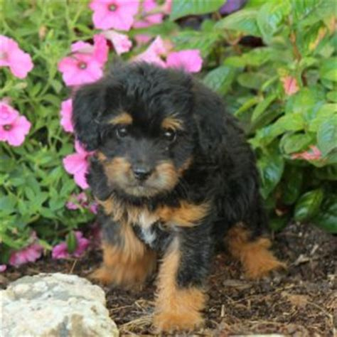 puppies for sale in nj 300 miniature poodle puppies for sale in pa nj breeds picture