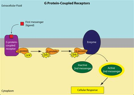 g protein coupled receptors quizlet image gallery epinephrine protein