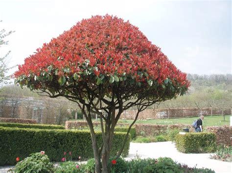 Photinia En Arbre photos d arbres