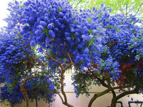 i believe this is ceanothus aka california lilac shrub blue flowers flowers pinterest