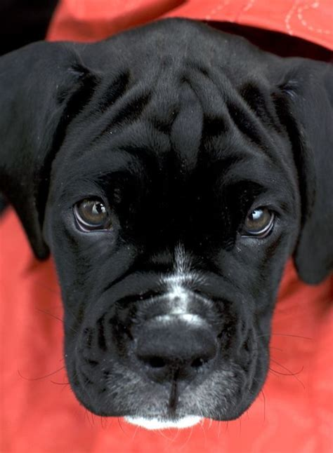 black and white boxer puppies black white boxer puppy kiah at 9 weeks follow kiah on fb http www