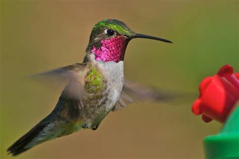 imagenes animales endemicos de mexico colibr 237 es de m 233 xico en riesgo 7 de 13 especies end 233 micas