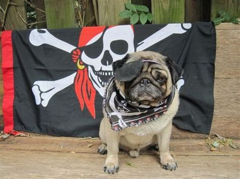 pug pirate costume the world s catalog of ideas