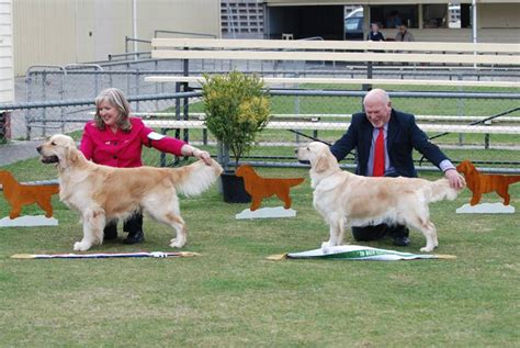 beaucroft golden retrievers tasmanian golden retriever club