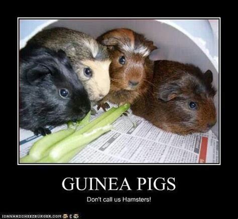 Guinea Pig Meme - 131 best images about guinea pig memes humor on