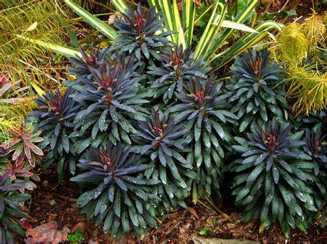 plantfiles pictures euphorbia cushion spurge blackbird