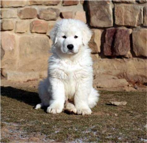 maremma puppy follow the piper penguins and maremma sheepdogs