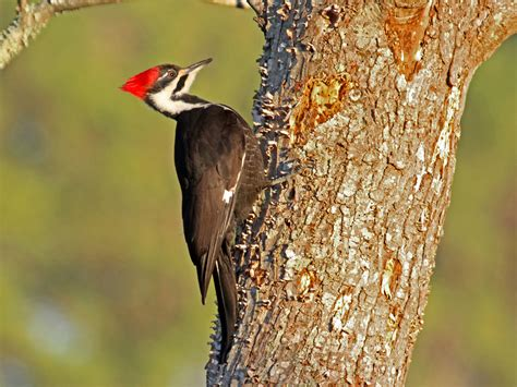 pin by jose miguel cordero on pileated wood pecker