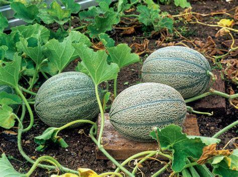 melonen im garten melonen pflanzen pflegen ernten mein sch 246 ner garten