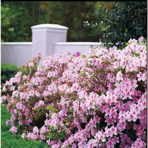 encore azalea 1 gal autumn sweetheart 80621 the home depot