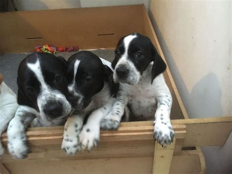 pointer puppies for sale pointer puppies for sale kc registered battle east sussex pets4homes