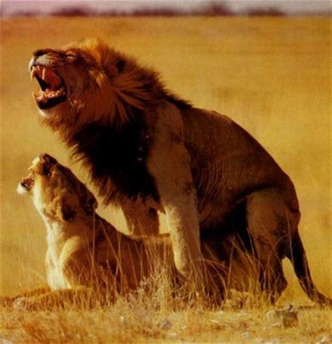 Imagenes De Leones Reproduciendose | 191 c 243 mo se reproducen los leones universo animal