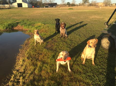 lab puppies for sale houston labrador retriever club houston tx dogs in our photo