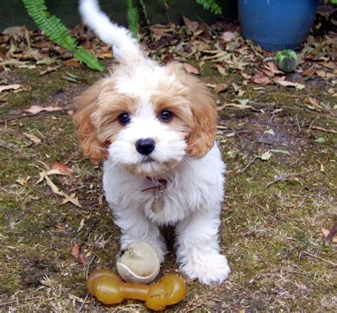puppies for sale in santa top 25 best dogs for sale ideas on small puppies small puppies for sale