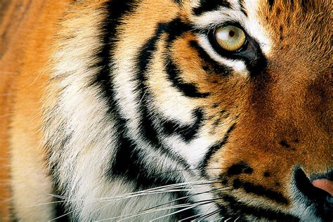 classsroom of tigers