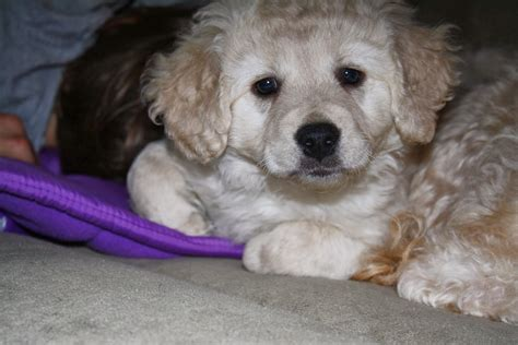 mini doodle seattle daisey s doodles seattle f1b miniature goldendoodles will