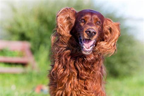 irish setter dog time red irish setter dog fun stock photo image of animal
