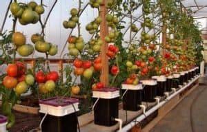 membuat poc untuk hidroponik 6 cara menanam tomat hidroponik yang wajib diperhatikan 2018