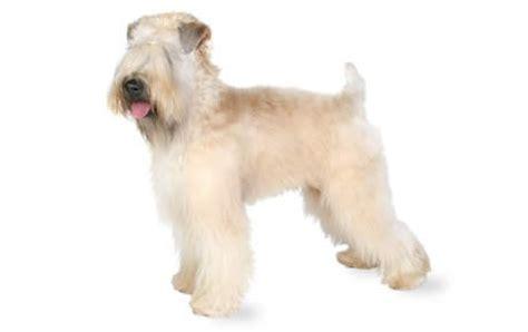 Kanna White Soft soft coated wheaten terrier guide temperament canna pet