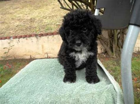 Fan Chasing Black Besar 12cm black maltese poodle puppies zoe fans baby animals poodles fans and